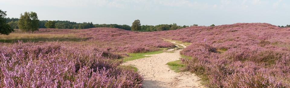 heide in Drenthe
